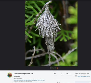 bagworm flickr